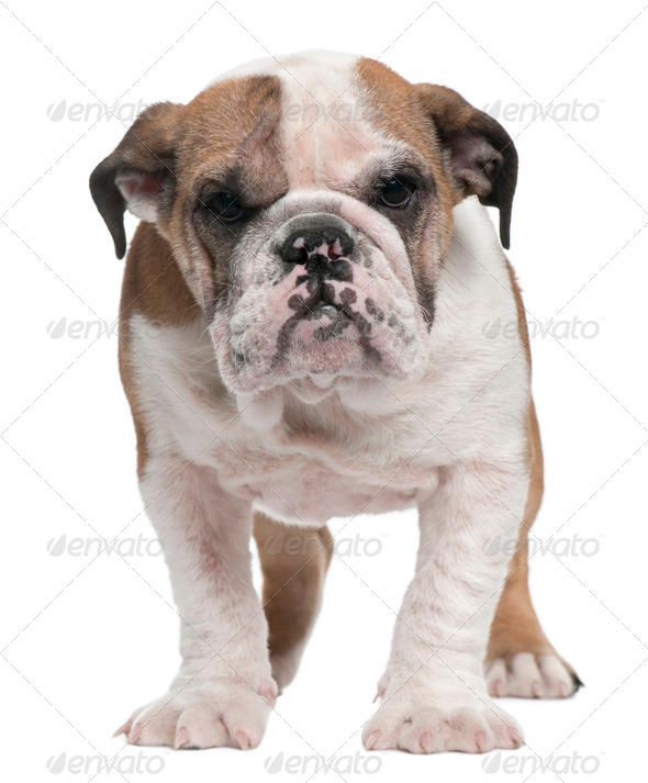 English Bulldog puppy, 4 months old, standing in front of white background - Stock Photo - Images