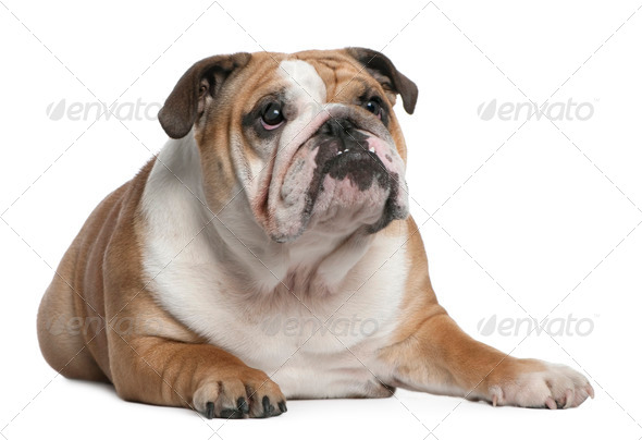 English Bulldog puppy, 10 months old, lying in front of white background - Stock Photo - Images