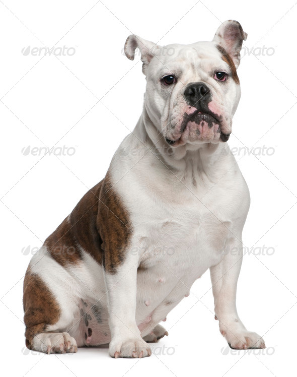 English Bulldog, 12 months old, sitting in front of white background - Stock Photo - Images