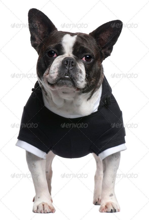 French Bulldog, 4 years old, dressed in black top standing in front of white background - Stock Photo - Images