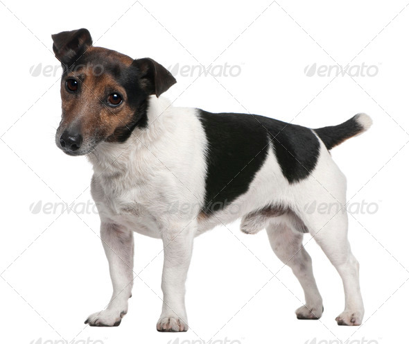 Jack Russell Terrier, 8 years old, standing in front of white background - Stock Photo - Images