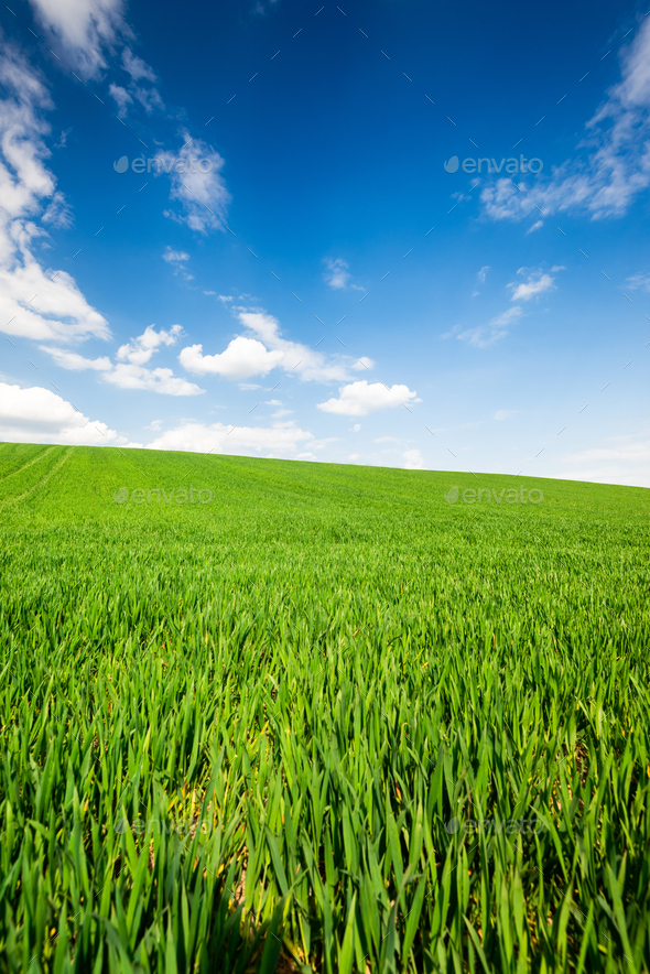 Green Wheat or Grass and Blue Sky with Clouds. Farmland or Countruside Rural  Landscape - Stock Photo - Images