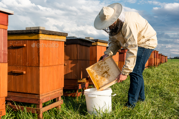 Beekeeper or Apiarist Collecting Pollen from Beehive. Healthy Bio Food and Beekeeping. - Stock Photo - Images