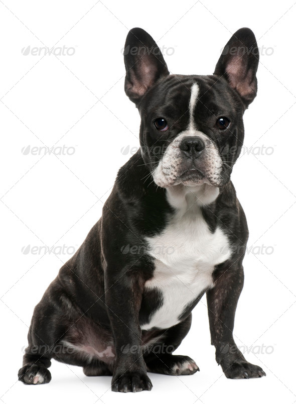 French Bulldog puppy, 8 months old, sitting in front of white background - Stock Photo - Images