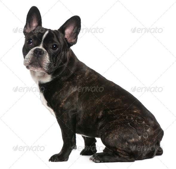 French Bulldog, 8 months old, sitting in front of white background - Stock Photo - Images