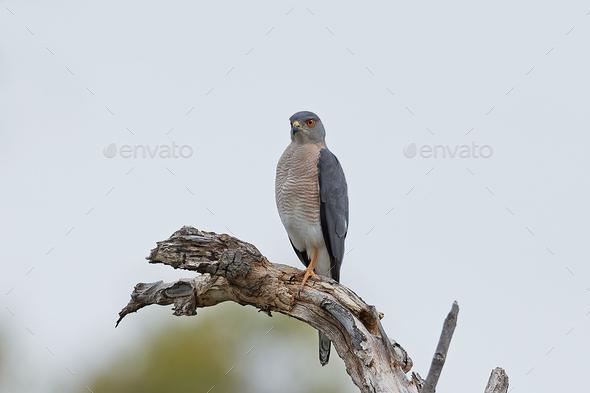 Shikra (Accipiter badius) - Stock Photo - Images