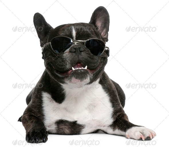 French Bulldog, 4 years old, wearing sunglasses in front of white background - Stock Photo - Images