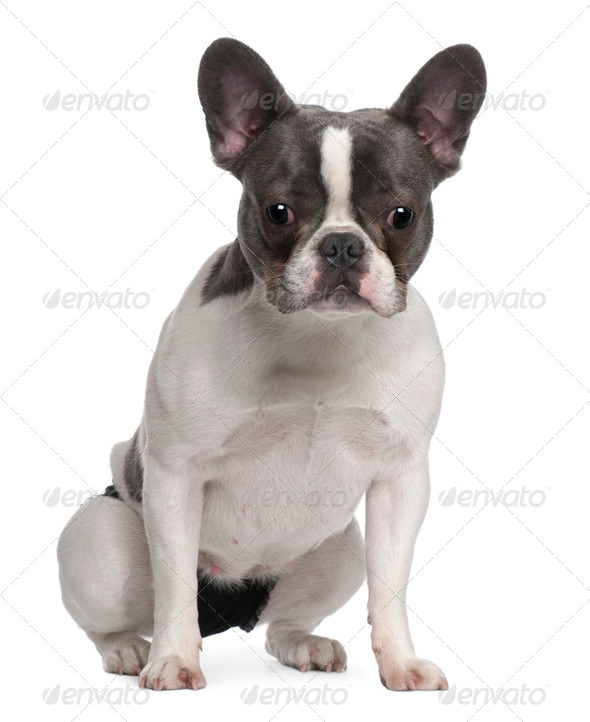French Bulldog puppy, 9 months old, sitting in front of white background - Stock Photo - Images