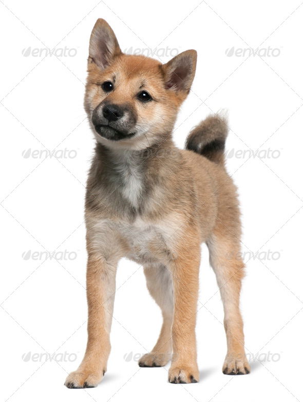 Shiba Inu puppy, 5 months old, standing in front of white background - Stock Photo - Images