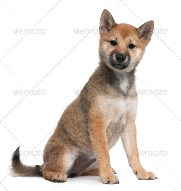 Shiba Inu puppy, 5 months old, sitting in front of white background - Stock Photo - Images