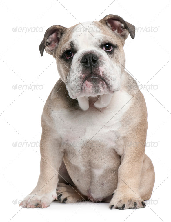 English Bulldog puppy, 5 months old, sitting in front of white background - Stock Photo - Images