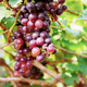 Red grapes on tree in vineyard - PhotoDune Item for Sale