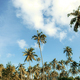 Coconut tree on plantation - PhotoDune Item for Sale
