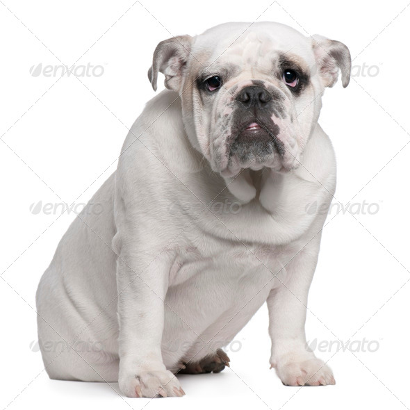 English Bulldog puppy, 7 months old, sitting in front of white background - Stock Photo - Images