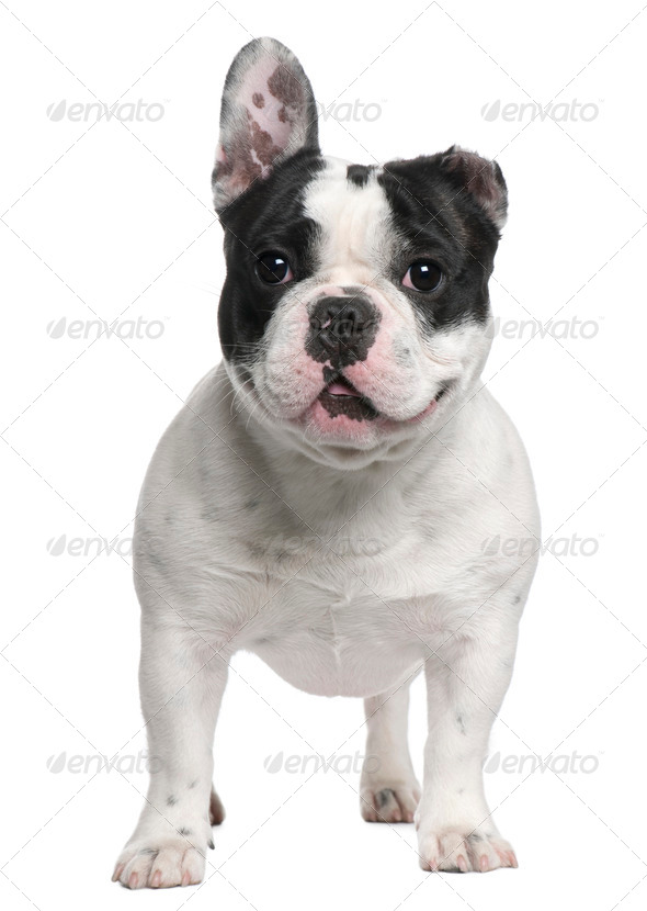 French Bulldog, 13 months old, with a cut ear standing in front of white background - Stock Photo - Images
