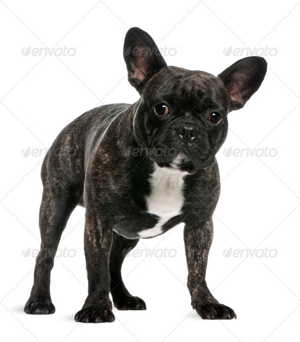 French Bulldog, 18 months old, standing in front of white background - Stock Photo - Images