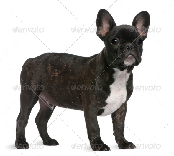 French Bulldog puppy, 4 months old, standing in front of white background - Stock Photo - Images