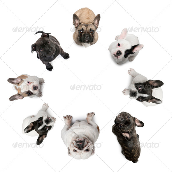 High angle view of Staffordshire Bull Terrier puppies, 2 months old, in front of white background - Stock Photo - Images