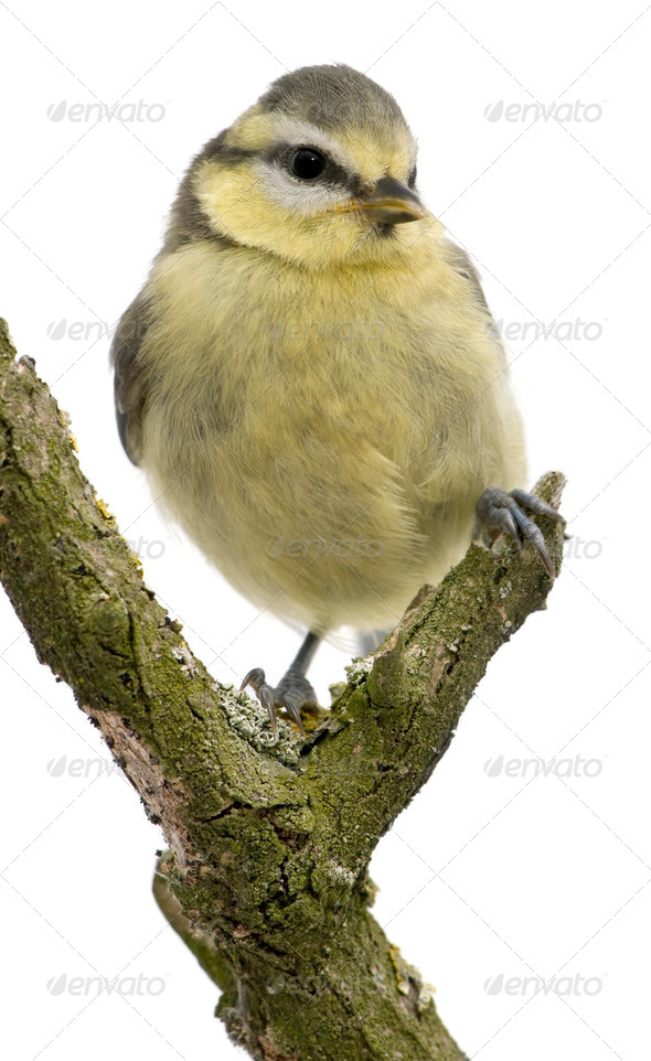 Young Blue Tit, Cyanistes caeruleus, 45 days old, perched in tree in front of white background - Stock Photo - Images