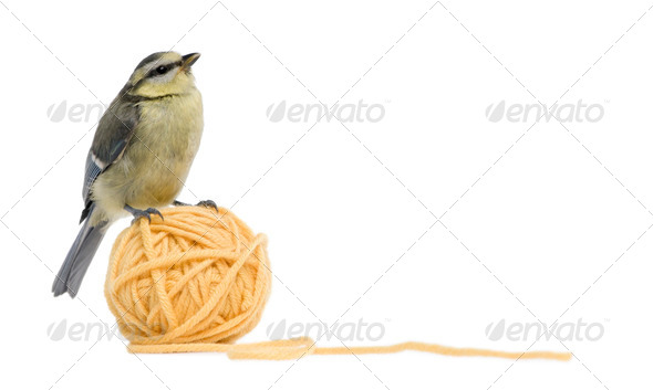 Young Blue Tit, Cyanistes caeruleus standing on ball of wool yarn in front of white background - Stock Photo - Images