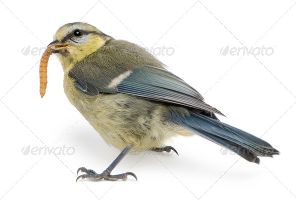 Young Blue Tit, Cyanistes caeruleus, eating worm in front of white background - Stock Photo - Images