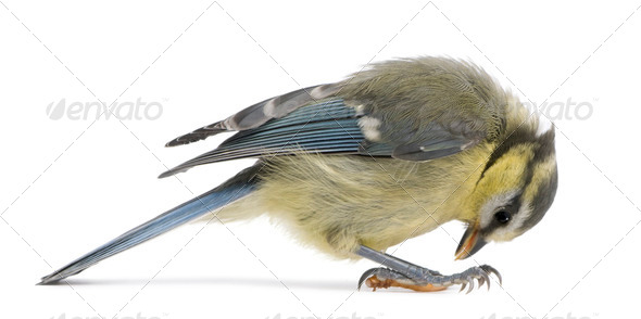 Young Blue Tit, Cyanistes caeruleus, looking down in front of white background - Stock Photo - Images