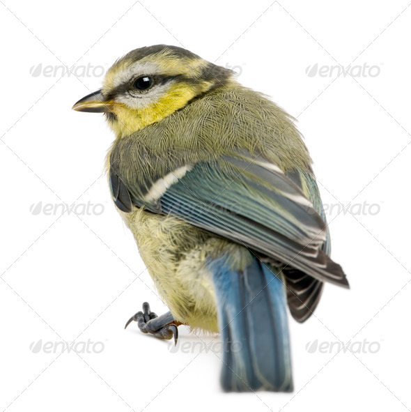 Young Blue Tit, Cyanistes caeruleus, in front of white background - Stock Photo - Images