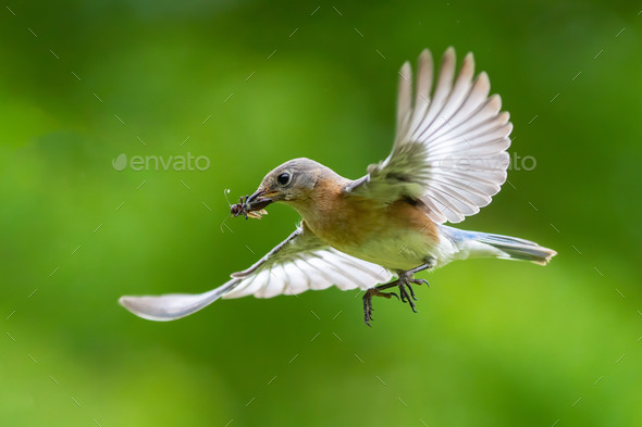 Eastern Bluebird Flying with Insect - Stock Photo - Images