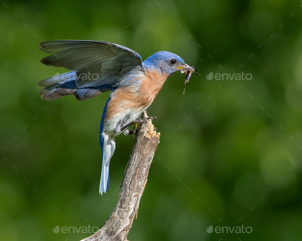 Eastern Bluebird Eating Insect - Stock Photo - Images