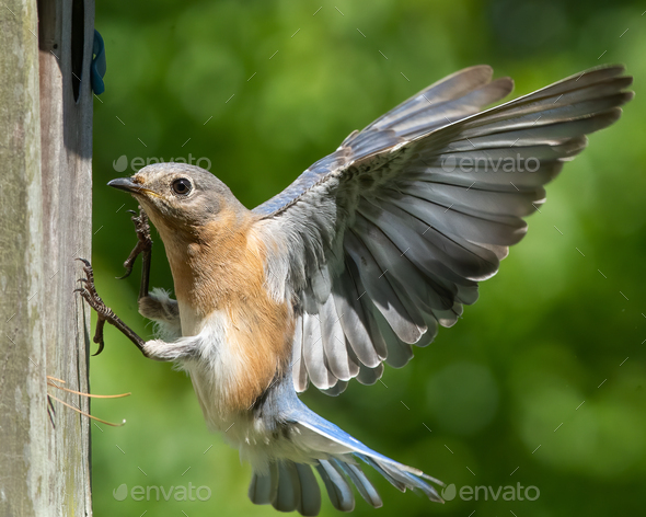 Eastern Bluebird (Female) - Stock Photo - Images