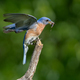 Eastern Bluebird Eating Insect - PhotoDune Item for Sale