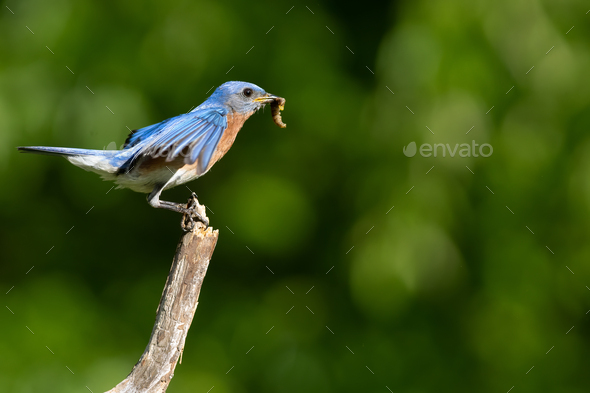 Eastern Bluebird Taking Flight - Stock Photo - Images