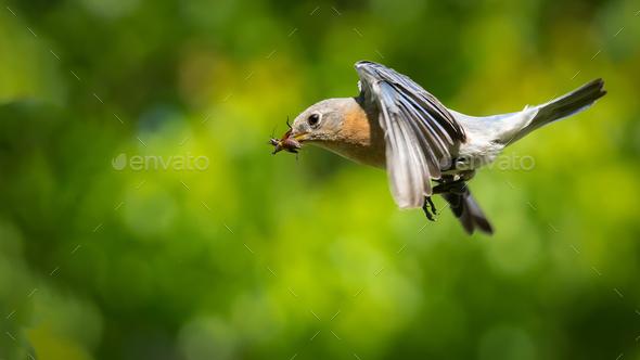 Eastern Bluebird - Stock Photo - Images