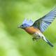 Male Eastern Bluebird - PhotoDune Item for Sale
