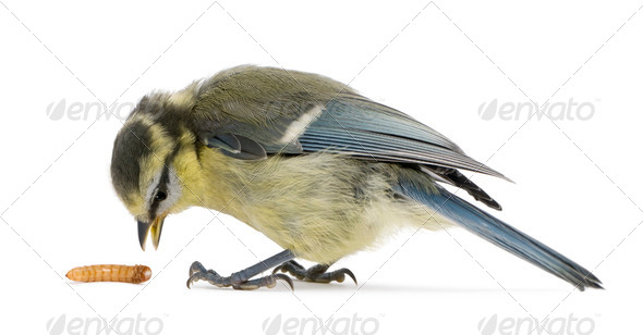 Young Blue Tit, Cyanistes caeruleus, with worm in front of white background - Stock Photo - Images