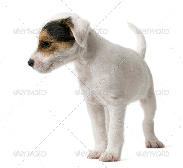 Parson Russell Terrier puppy standing in front of white background - Stock Photo - Images