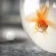 Goldfish in bowl - PhotoDune Item for Sale