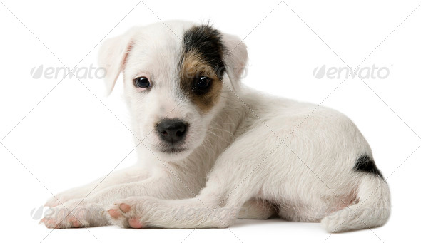 Parson Russell Terrier puppy lying in front of white background - Stock Photo - Images