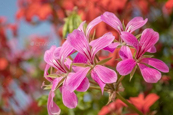 cascading geranium - Stock Photo - Images