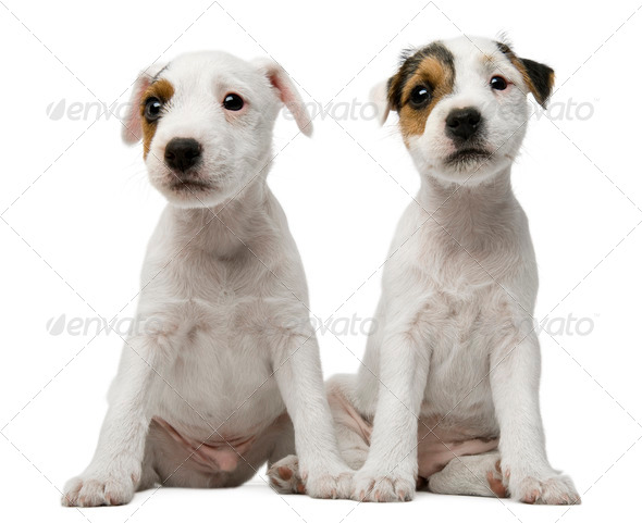 Parson Russell Terrier puppies sitting in front of white background - Stock Photo - Images