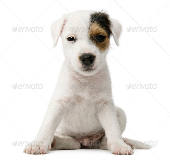 Parson Russell Terrier puppy sitting in front of white background - Stock Photo - Images