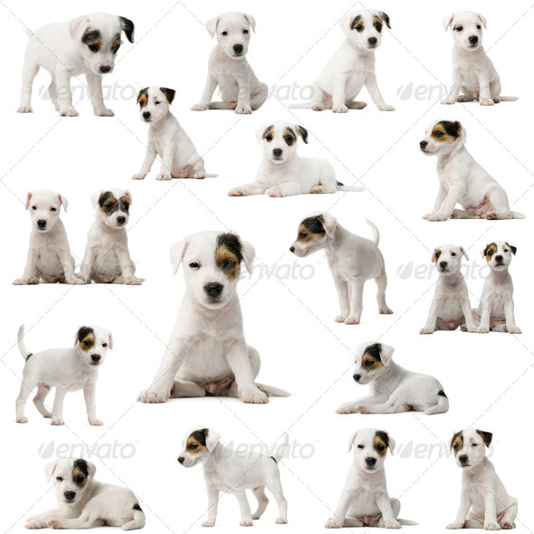 Collection of Parson Russell Terrier puppies in front of white background - Stock Photo - Images