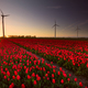 red tulip field and wind turbines at sunset - PhotoDune Item for Sale