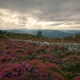 Blooming Purple Heather Spreads and Dry Stone Wall - PhotoDune Item for Sale