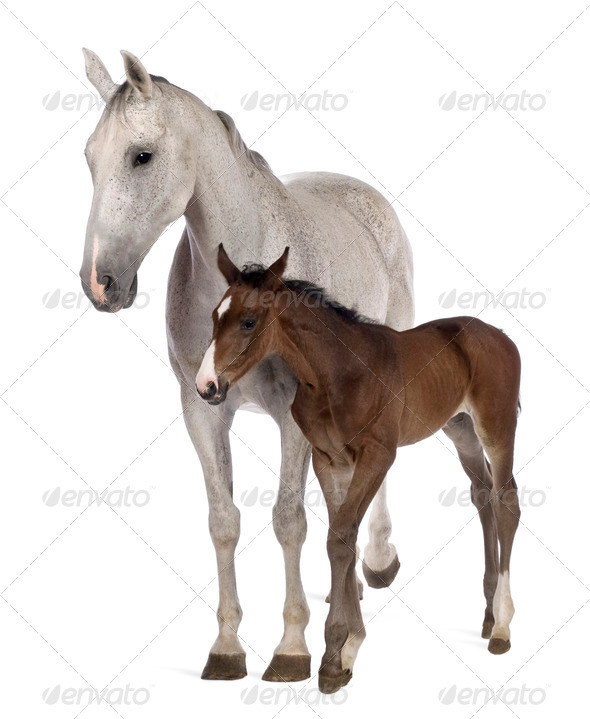 Mare and her foal, 14 years old and 20 days old, standing in front of white background - Stock Photo - Images