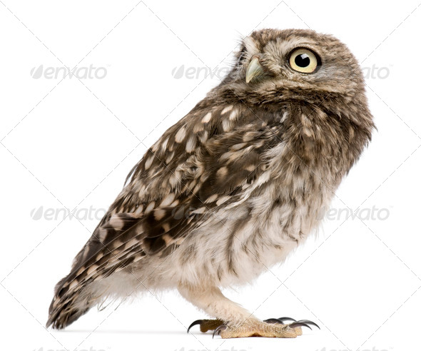 Little Owl, 50 days old, Athene noctua, standing in front of a white background - Stock Photo - Images