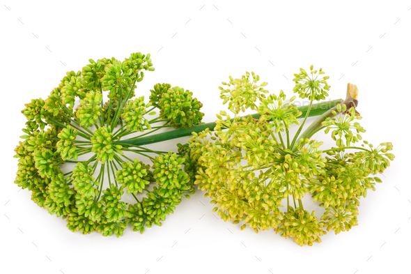 Angelica plant - Stock Photo - Images
