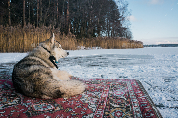 Malamute Dog Resting on Carpet on Snow Outdoors, Belarus, Lahoysk - Stock Photo - Images