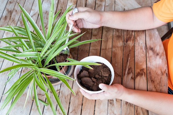 Person apply spent grounded coffee powder as natural plant fertilizer - Stock Photo - Images