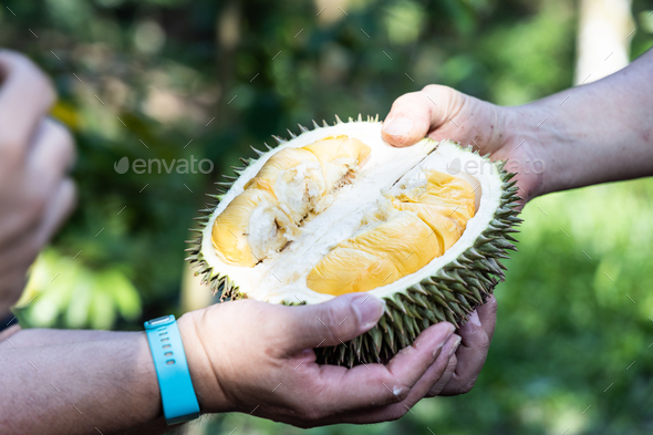 Hand holding freshly harvested organic durian with delicious yellow flash - Stock Photo - Images